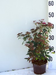 Rote Japan-Spiere / Sommerspiere / Spiraea japonica 'Anthony Waterer' 20-25 cm im 1-Liter Container