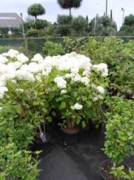 Schneeball-Hortensie 'Annabelle' / Hydrangea arborescens 'Annabelle' 80 - 100 cm im 20-Liter Container