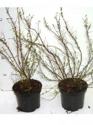 Frühlings-Spiere / Gras-Spiere / Spiraea thunbergii 30-40 cm im 1,5-Liter Container