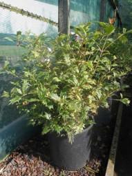 Stachelblättrige Duftblüte 'Goshiki' / Osmanthus heterophyllus 'Goshiki' 40-50 cm im 10-Liter Container