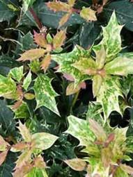 Stachelblättrige Duftblüte 'Goshiki' / Osmanthus heterophyllus 'Goshiki' 50-60 cm im 15-Liter Container
