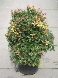Stachelblättrige Duftblüte 'Goshiki' / Osmanthus heterophyllus 'Goshiki' 60-80 cm im 20-Liter Container