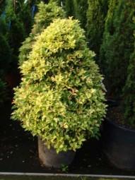Stachelblättrige Duftblüte 'Goshiki' / Osmanthus heterophyllus 'Goshiki' 80-100 cm im 30-Liter Container