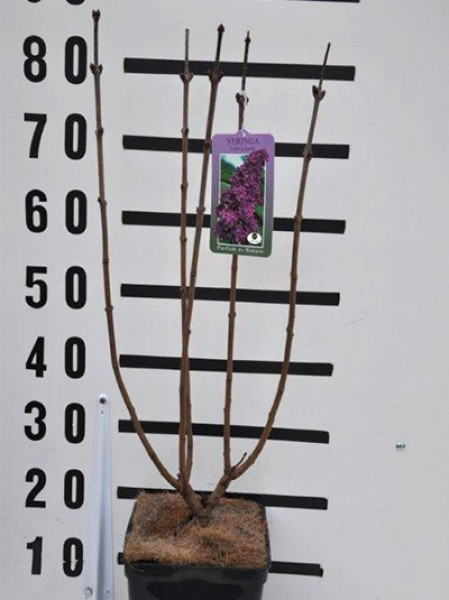 gew hnlicher flieder 39 charles joly 39 syringa vulgaris. Black Bedroom Furniture Sets. Home Design Ideas