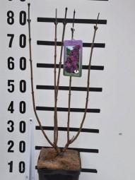 Gewöhnlicher Flieder 'Katherine Havemeyer' / Syringa vulgaris 'Katherine Havemeyer' 40-60 cm im 3-Liter Container