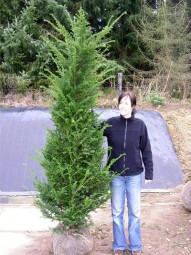 Heimische Eibe / Taxus baccata 200-225 cm mit Ballierung