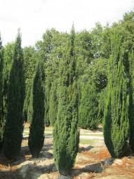Säulen-Eibe 'Fastigiata' / Taxus baccata 'Fastigiata' 300-350 cm Solitär mit Drahtballierung