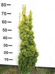Gelbe Säulen-Eibe 'Fastigiata Aurea' / Taxus baccata 'Fastigiata Aurea' 60-80 cm mit Ballierung
