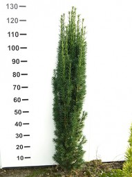 Säulen-Eibe 'Fastigiata Robusta' / Taxus baccata 'Fastigiata Robusta' 100-125 cm mit Ballierung