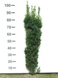 Säulen-Eibe 'Fastigiata Robusta' / Taxus baccata 'Fastigiata Robusta' 80-100 cm mit Ballierung