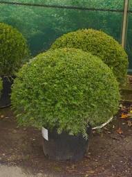 Heimische Eibe 'Kugelform' / Taxus baccata 'Kugel' 60-70 cm im 50-Liter Container