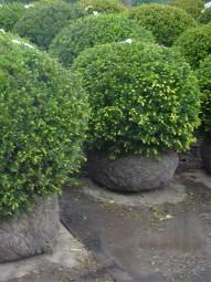 Heimische Eibe 'Kugelform' / Taxus baccata 'Kugel' 80-90 cm mit Drahtballierung