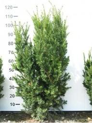 Fruchtlose Becher-Eibe 'Hillii' / Taxus media 'Hillii' 100-125 cm Solitär mit Ballierung