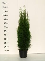 Lebensbaum 'Smaragd' / Thuja occidentalis 'Smaragd' 100-125 cm im 5-Liter Container