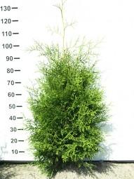 Lebensbaum 'Brabant' / Thuja occidentalis 'Brabant' 100-125 cm mit Ballierung