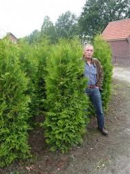 Lebensbaum 'Brabant' / Thuja occidentalis 'Brabant' 180-200 cm Solitär mit Ballierung