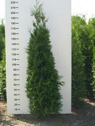 Lebensbaum 'Brabant' / Thuja occidentalis 'Brabant' 200-225 cm mit Ballierung