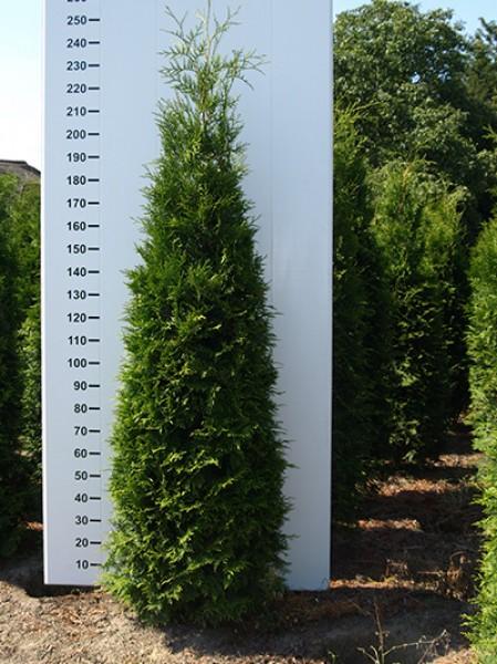 lebensbaum 39 brabant 39 thuja occidentalis 39 brabant 39 225 250 cm solit r mit drahtballierung. Black Bedroom Furniture Sets. Home Design Ideas