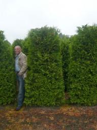 Fertighecke / Heckenelement / Lebensbaum 'Brabant' / Thuja occidentalis 'Brabant' 240x100x40 cm mit Drahtballierung