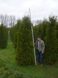 Lebensbaum 'Brabant' / Thuja occidentalis 'Brabant' 300-350 cm Solitär mit Drahtballierung