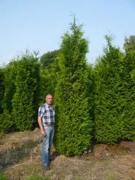 Lebensbaum 'Brabant' / Thuja occidentalis 'Brabant' 350-400 cm Solitär mit Drahtballierung