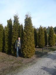 Lebensbaum 'Brabant' / Thuja occidentalis 'Brabant' 400-450 cm Solitär mit Drahtballierung