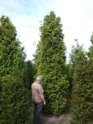 Lebensbaum 'Brabant' / Thuja occidentalis 'Brabant' 450-500 cm Solitär mit Drahtballierung