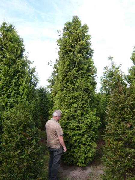 lebensbaum 39 brabant 39 thuja occidentalis 39 brabant 39 450 500 cm solit r mit drahtballierung. Black Bedroom Furniture Sets. Home Design Ideas