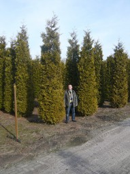 Lebensbaum 'Brabant' / Thuja occidentalis 'Brabant' 500-600 cm Solitär mit Drahtballierung
