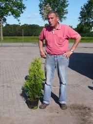 Lebensbaum 'Brabant' / Thuja occidentalis 'Brabant' 60-80 cm im 3-Liter Container