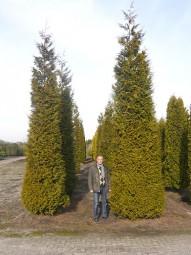 Lebensbaum 'Brabant' / Thuja occidentalis 'Brabant' 600-700 cm Solitär mit Drahtballierung
