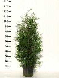 Lebensbaum 'Brabant' / Thuja occidentalis 'Brabant' 80-100 cm im 5-Liter Container