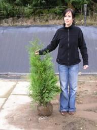 Lebensbaum 'Brabant' / Thuja occidentalis 'Brabant' 80-100 cm mit Ballierung