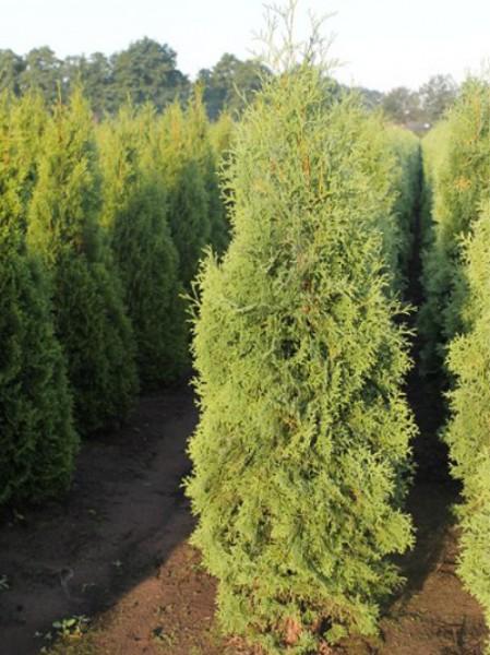 s ulen lebensbaum thuja occidentalis 39 columna 39 160 180 cm solit r mit ballierung g nstig kaufen. Black Bedroom Furniture Sets. Home Design Ideas