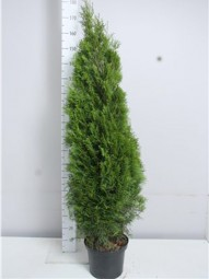 Lebensbaum 'Smaragd' / Thuja occidentalis 'Smaragd' 140-160 cm im 10-Liter Container
