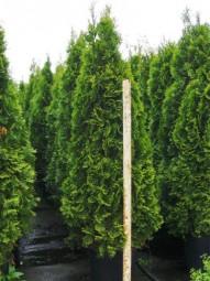 Lebensbaum 'Smaragd' / Thuja occidentalis 'Smaragd' 180-200 cm im 30-Liter Container