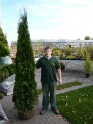 Lebensbaum 'Smaragd' / Thuja occidentalis 'Smaragd' 225-250 cm mit Drahtballierung