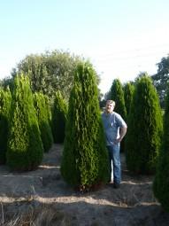Lebensbaum 'Smaragd' / Thuja occidentalis 'Smaragd' 250-275 cm Solitär mit Drahtballierung