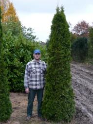 Lebensbaum 'Smaragd' / Thuja occidentalis 'Smaragd' 275-300 cm Solitär mit Drahtballierung