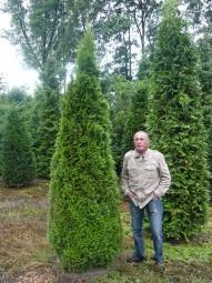 Lebensbaum 'Smaragd' / Thuja occidentalis 'Smaragd' 300-350 cm Solitär mit Drahtballierung