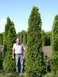 Lebensbaum 'Smaragd' / Thuja occidentalis 'Smaragd' 350-400 cm Solitär mit Drahtballierung