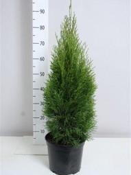 Lebensbaum 'Smaragd' / Thuja occidentalis 'Smaragd' 60-80 cm im 5-Liter Container