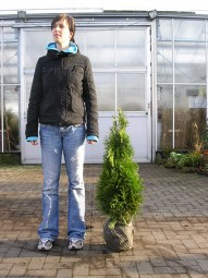 Lebensbaum 'Smaragd' / Thuja occidentalis 'Smaragd' 60-80 cm mit Ballierung