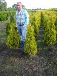Lebensbaum 'Yellow Ribbon' / Thuja occidentalis 'Yellow Ribbon' 100-125 cm mit Ballierung