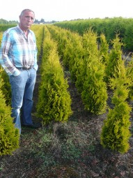 Lebensbaum 'Yellow Ribbon' / Thuja occidentalis 'Yellow Ribbon' 125-150 cm mit Ballierung