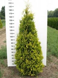 Lebensbaum 'Yellow Ribbon' / Thuja occidentalis 'Yellow Ribbon' 175-200 cm Solitär mit Ballierung