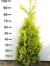 Lebensbaum 'Yellow Ribbon' / Thuja occidentalis 'Yellow Ribbon' 80-100 cm mit Ballierung