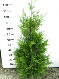 Lebensbaum 'Atrovirens' / Thuja plicata 'Atrovirens' 100-125 cm mit Ballierung