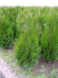 Lebensbaum 'Atrovirens' / Thuja plicata 'Atrovirens' 125-150 cm mit Ballierung