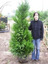 Lebensbaum 'Atrovirens' / Thuja plicata 'Atrovirens' 180-200 cm mit Ballierung